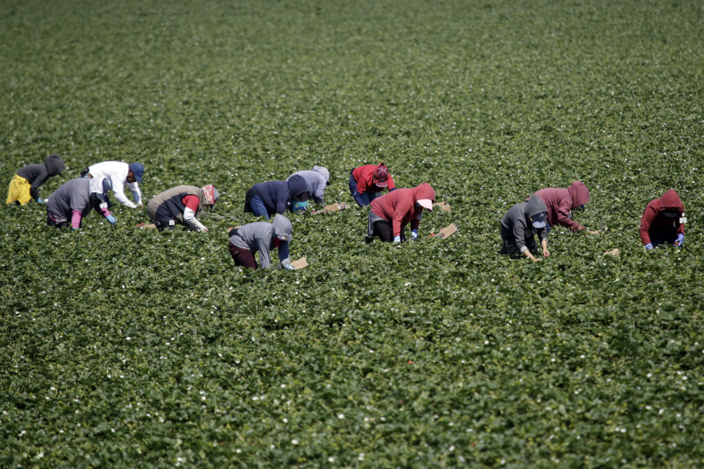 Workers harvest strawberries in Ventura County, California, where an estimated 88% of 20,000 farm and food-production workers are immigrants.