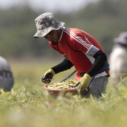 Immigrant workers harvest beans in May in Homestead, Florida.