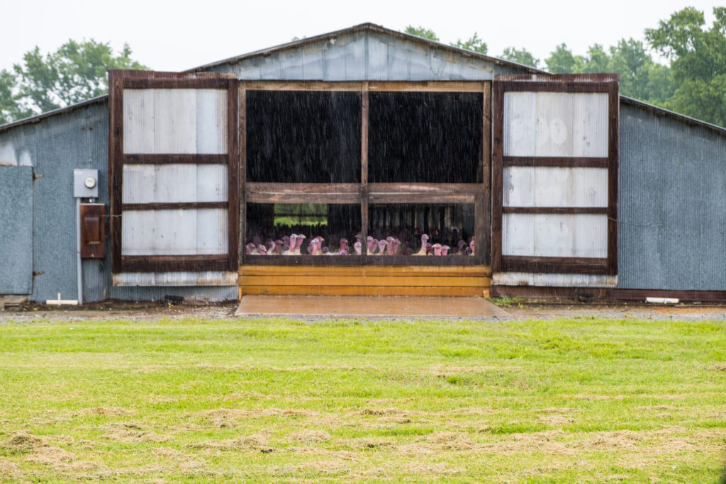 Turkeys gather near a window of a CAFO barn on a rainy day in Duplin County. Nearby residents worry about pollution.